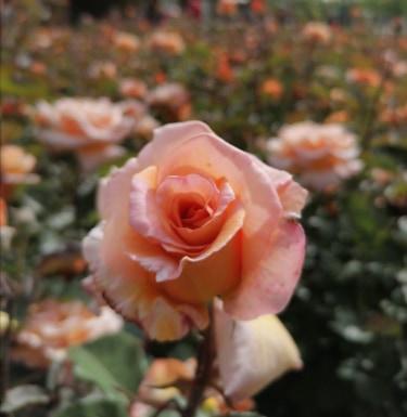 poze cu flori frumoase și parfumate