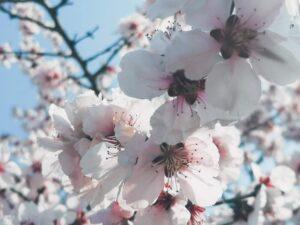 poze cu flori frumoase copaci infloriti