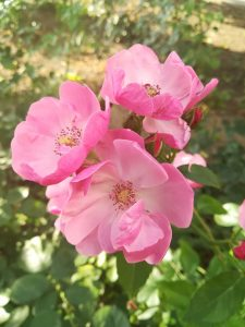 flori frumoase
