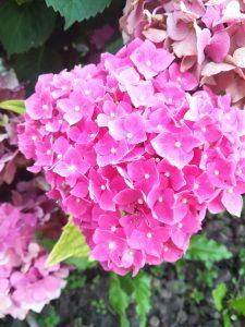 hortensii roz