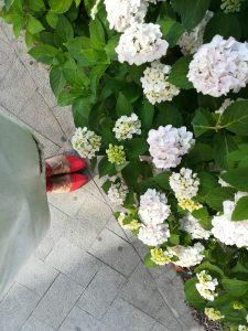 hortensii albe