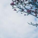 magnolie și cerul senin