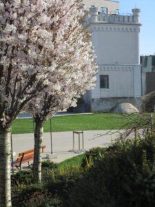 copaci înfloriți iași