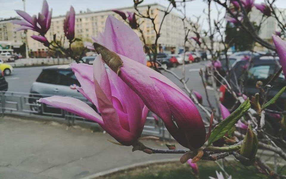 copacii înfloriți