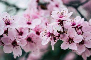copaci înfloriți foto