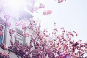 copaci înfloriti poze