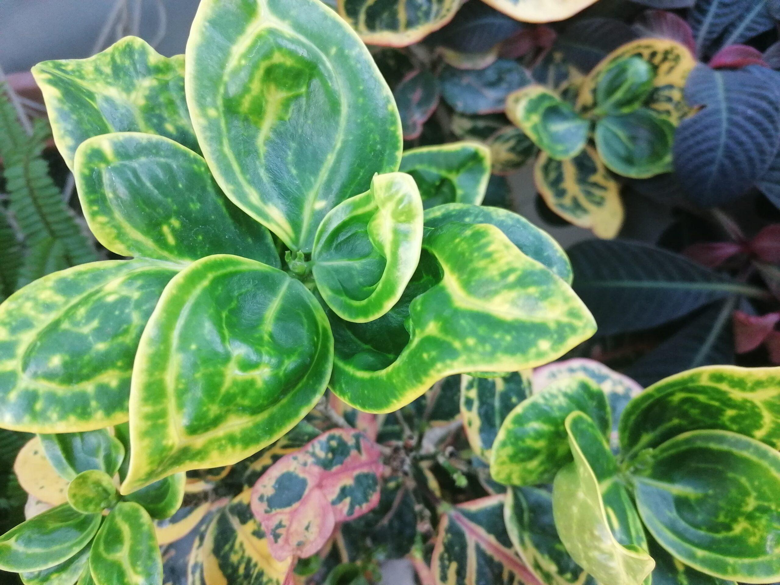 plante iași