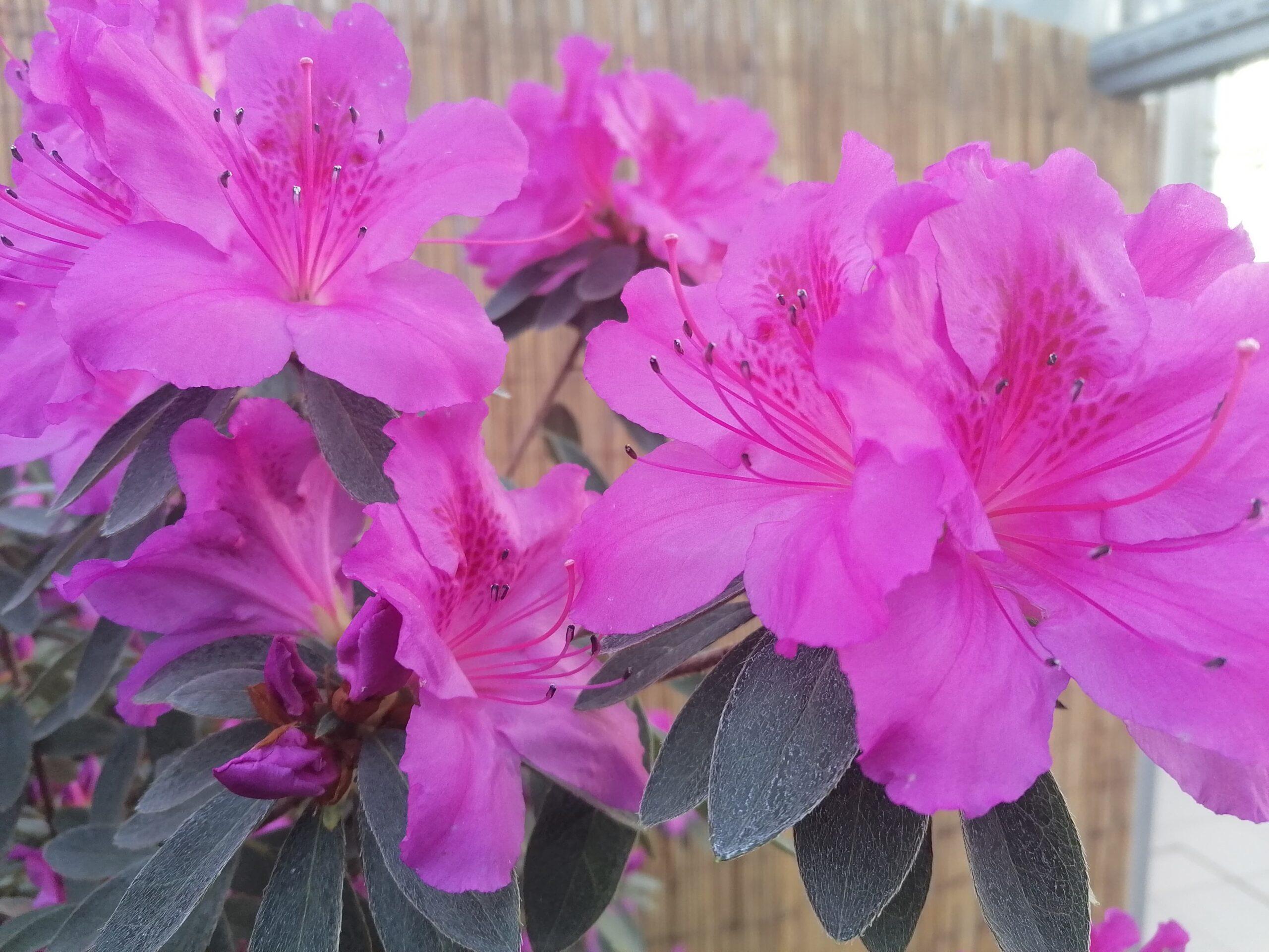 flori frumoase iași