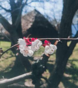 lucruri frumoase copaci în floare